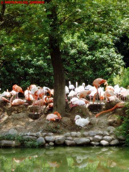 Flock of Flamingo at SWAP, Shanghai Wild Animal park MNTravelog