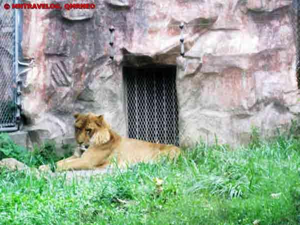 Liger, Shanghai Wild Animal park MNTravelog