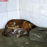 Mother Dog feeding tiger cubs , Shanghai Wild Animal Park MNTravelog