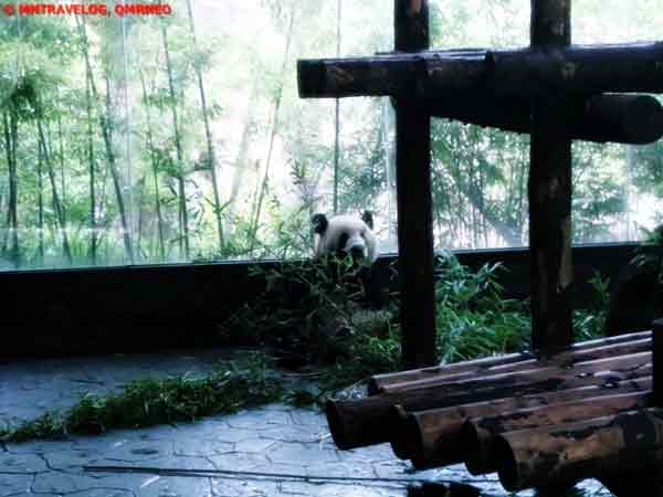 Panda Playing, Shanghai Wild Animal Park MNTravelog