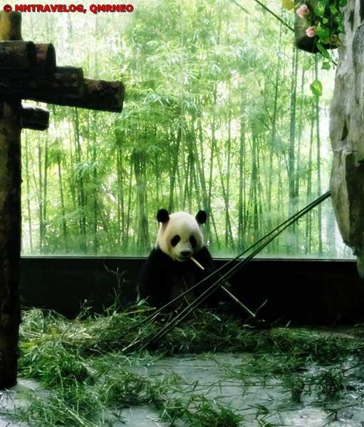 Panda, Shanghai Wild Animal Park MNTravelog