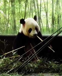 Panda, Shanghai Wild Animal Park