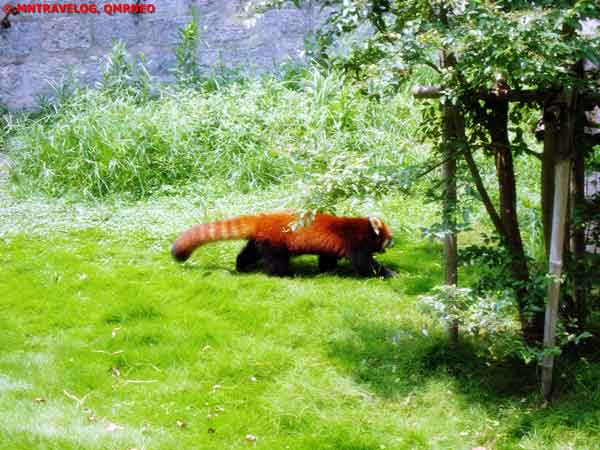 Red Panda, at SWAP, Shanghai Wild Animal park MNTravelog