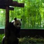 Shanghai-wild-animal-park-panda