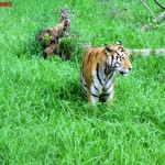 Tiger, Shanghai Wild Animal Park MNTravelog