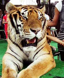 Tiger real close, Shanghai Wild Animal Park